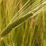 穀物が鍵!食物繊維の多い食品で生活習慣病を予防するには?